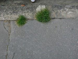 pom-pom-girl-végétation